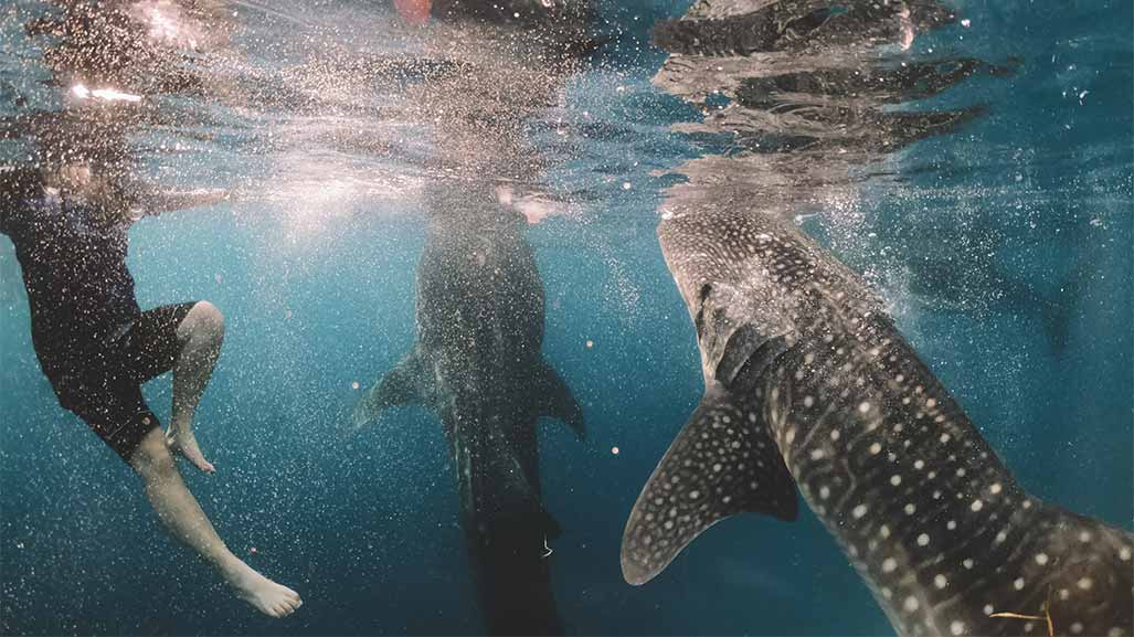 swiming with whale shark in Western Australia